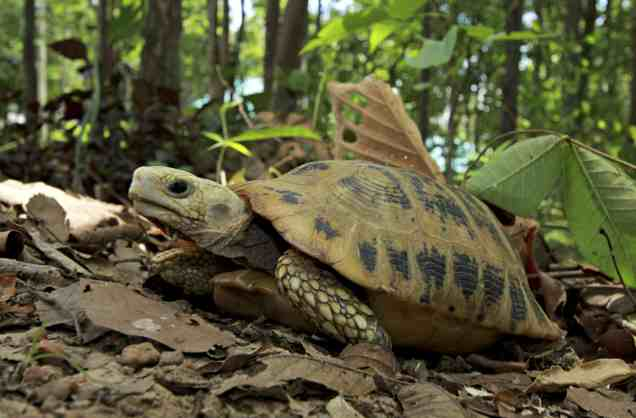 The Elongated Tortoise Battles Extinction