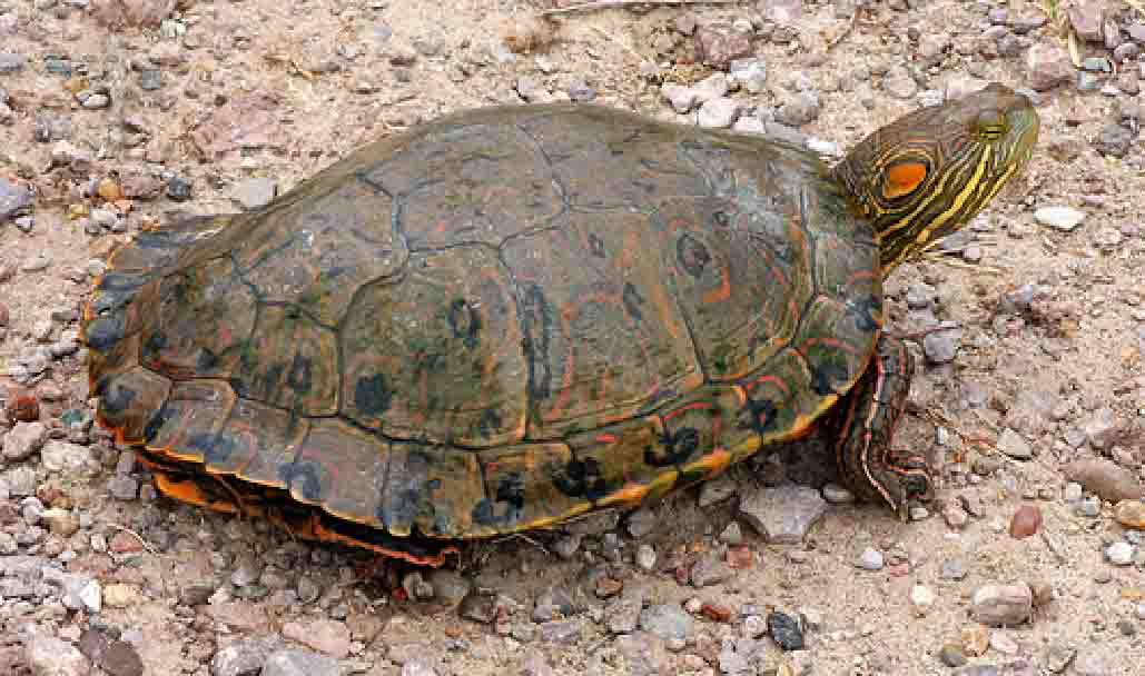 Tortugas Emydidae  Trachemys_gaigeae_Web